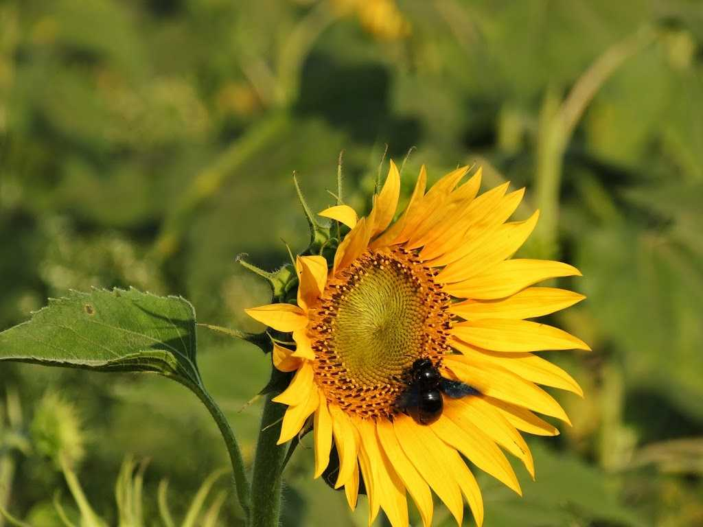 Sunflowers swarmed with bees at Shimoga
