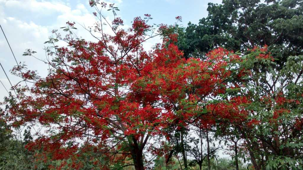Gulmohar Trees in full bloom